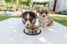Cute Puppies Drinking Water Fr...