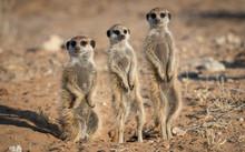 Three Meerkat On Guard