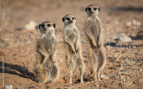 Fényképezés Three Meerkat on Guard