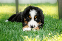 Bernese Mountain Dog Cute Pupp...