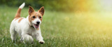 Fototapeta Zwierzęta - Happy active jack russel pet dog puppy running in the grass in summer, web banner with copy space