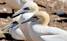 Colony Of Northern Gannets Sunbathing Bonaventure Island Quebec, Canada. The Northern Gannet (Morus Bassanus) Is A Seabird And Is The Largest Member Of The Gannet Family, Sulidae