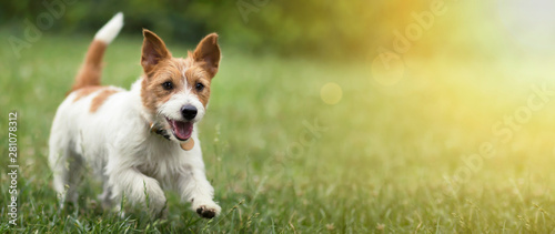 Spoed Foto op Canvas Hond Happy active jack russel pet dog puppy running in the grass in summer, web banner with copy space