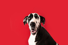 Beautiful Great Dane Dog Isolated On Colored Background