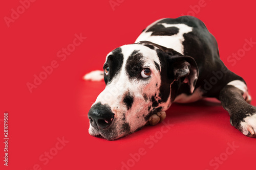 Puppy Dog Eyes of Great Dane Dog Wallpaper Mural
