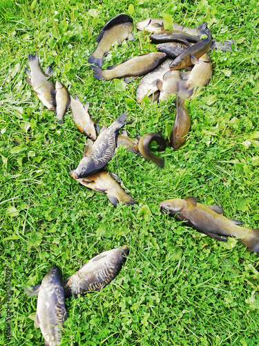 Valokuva caught fish tench and carp on the grass by the lake
