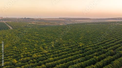 Aerial view of coffee plantation. Canvas Print