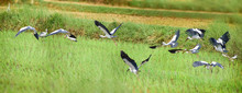 Asian White Colored Open Billed Stork Are Large Wading Bird In The Stork Family And Generic For All Herons And Storks In The Natural Habitat In The Wildlife Birds Of India Who Migrates In Rainy Season