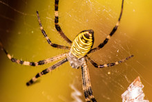 Big Yellow And Black Spider On A His Own Spider Web
