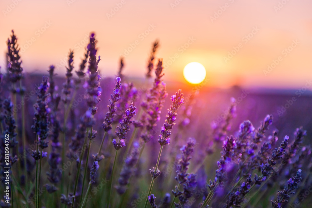 Fototapety, obrazy: Lavender flowers at sunset in Provence, France. Macro image, shallow depth of field