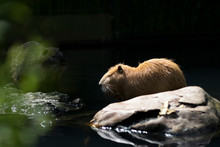 Portrait Of A Beaver Rat (nutria) At A Watering Hole In A Zoo.