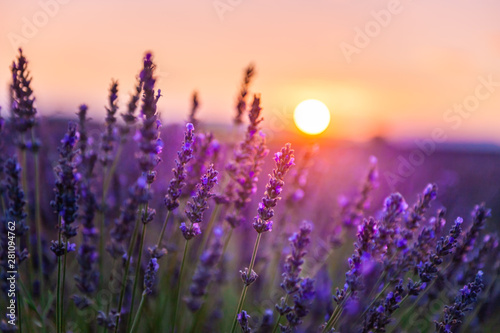 Spoed Foto op Canvas Aubergine Lavender flowers at sunset in Provence, France. Macro image, shallow depth of field