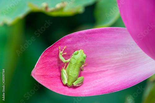 蓮の花とアマガエル Billede på lærred