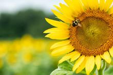 Bee Gathering Pollen On Large Sunflower