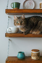 Cat On The Shelf With Dishes.