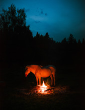 White Horse Standing Near Bonfire In The Night