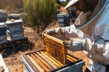 Beekeeper Holding Hive Frame In Apiary