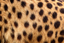 Colour Texture Fur Cheetah