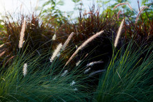 Beautiful Dog Tail Grass In Th...