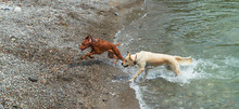 Two Dogs Running On Beach In Water
