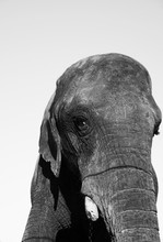 Old Domesticated Elephant In Contrasty Black And White