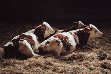Three Young Calves Lying In The Straw
