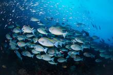 Schooling Surgeonfish (Raja Ampat)