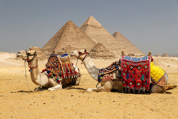 Wielbłądy w Giza Pyramid Complex, Kair, Egipt