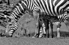 Burchell's Zebra Is A Southern Subspecies Of The Plains Zebra. It Is Named After The British Explorer William John Burchell. Common Names Include Bontequagga, Damara Zebra And Zululand Zebra
