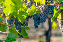 Vineyard Grapes Hanging In Bunches With Green Sunlit Leaves, Unripe, Ripening, And Ripe Grapes, Green, Red, Purple Coloring. Northern California Winery Grapevines