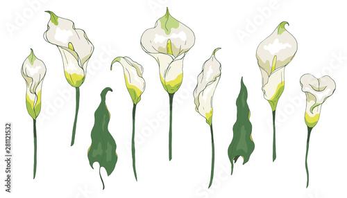 Fotografía Vector set with Calla lily flower or Zantedeschia, isolated on white background