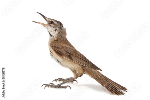 Canvas Print Great Reed Warbler isolated on white background