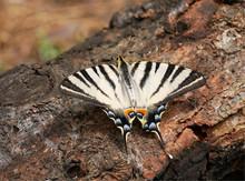 Scarce Swallowtail (sail Or Pe...