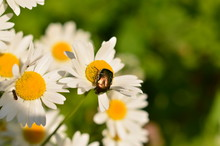 Beetle Golden Bronze On A Camomile