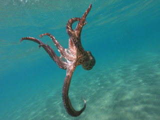 Underwater photo of octopus swimming in tropical exotic Mediterranean sandy beach with turquoise sea