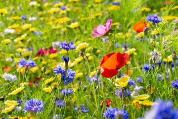 field or meadow of wild flowers - poppy flower