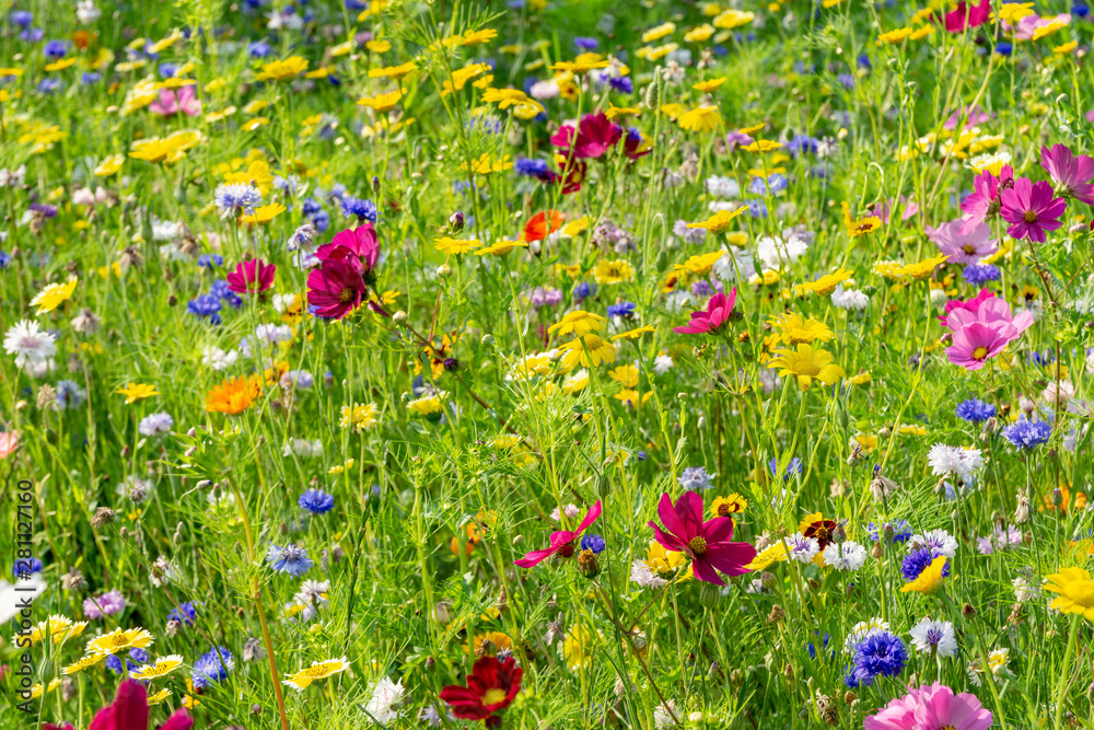 Fototapety, obrazy: field of colorful, wild flowers
