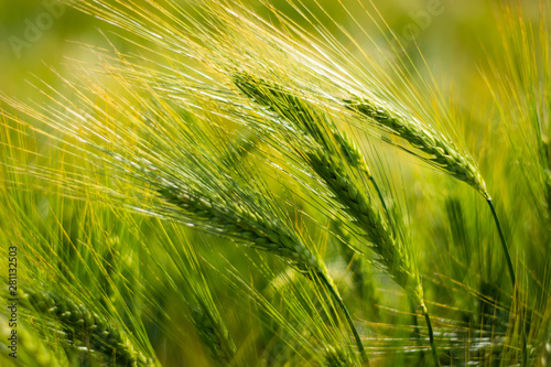 Tableau sur Toile spikelets of green brewing barley in a field.