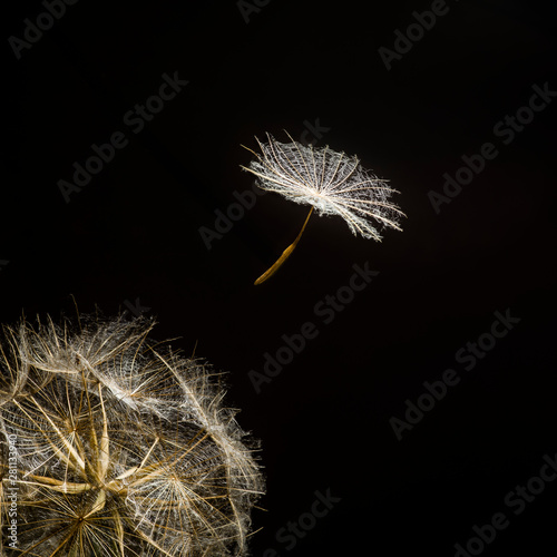 Fotografie, Obraz  Umbelliferous seed of Meadow Salsify (Tragopogon pratensis) flying away from the seed head against a black background