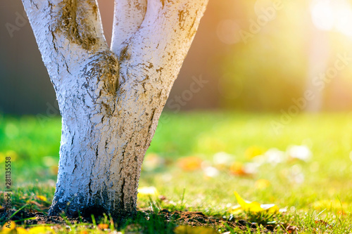 Foto auf Gartenposter Gelb Whitewashed bark of tree growing in sunny orchard garden on blurred green copy space background.