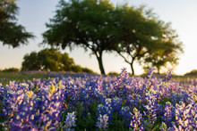 Bluebonnets Wildflowers Under Large Trees In Field And Blue Sky Background