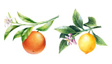 Lemons And Oranges On A Branch. Watercolor Illustrartion Of Citrus Tree With Leaves And Blossoms.