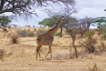 Giraffe In The Serengeti Much Of The Serengeti Was Known To Outsiders As Maasailand. The Maasai Were Known As Fierce Warriors, And Lived Alongside Most Wild Animals