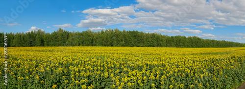 Foto op Plexiglas Weide, Moeras panoramic view of sunflower field