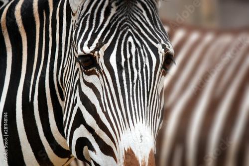 Fototapeta Burchell's zebra is a southern subspecies of the plains zebra. It is named after the British explorer William John Burchell. Common names include bontequagga, Damara zebra and Zululand zebra  obraz na płótnie