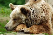 The Grizzly Bear Also Known As...