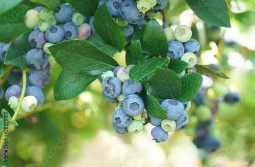 close up on fresh blueberry on the tree Fototapete