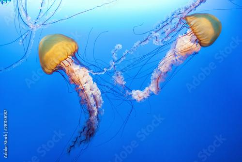 Valokuva  Orange jellyfish (Chrysaora fuscescens or Pacific sea nettle) in blue ocean wate