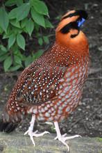 Malay Great Argus Bird