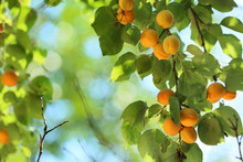 Branch With Ripe Apricots On S...